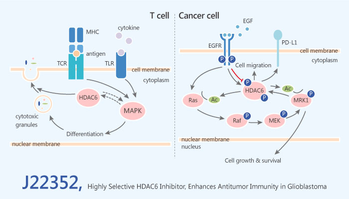 J22352 PROTAC Like Highly Selective HDAC6 Inhibitor Enhances Antitumor Immunity in Glioblastoma 2019 05 15 - J22352, a PROTAC-Like and Highly Selective HDAC6 Inhibitor, Enhances Antitumor Immunity in Glioblastoma