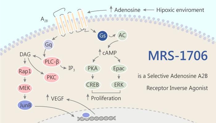 MRS 1706 is a Selective A2B Adenosine Receptor Inverse Agonist 2019 06 28 - MRS-1706 is a Selective A(2B) Adenosine Receptor Inverse Agonist