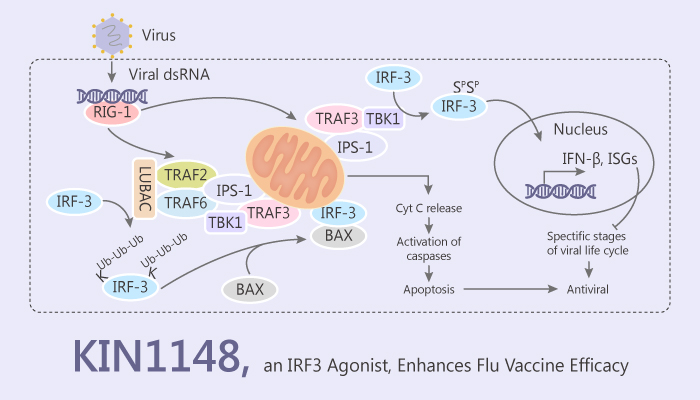 KIN1148 an IRF3 Agonist Acts as an Influenza Vaccine Adjuvant 2019 07 13 - KIN1148, an IRF3 Agonist, Acts as an Influenza Vaccine Adjuvant