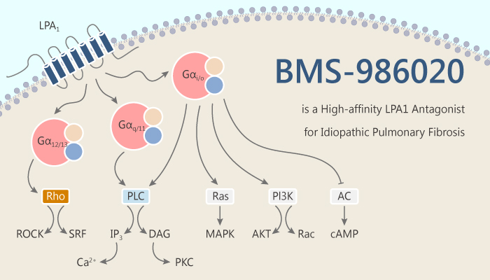 BMS 986020 is a High affinity LPA1 Antagonist for Idiopathic Pulmonary Fibrosis 2019 09 18 - BMS-986020 is a High-affinity LPA1 Antagonist for Idiopathic Pulmonary Fibrosis