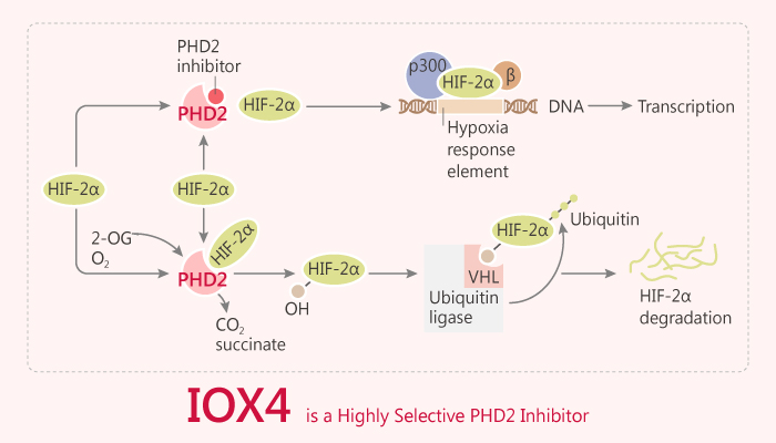 IOX4 is a Highly Selective PHD2 Inhibitor 2019 09 17 - IOX4 is a Highly Selective PHD2 Inhibitor