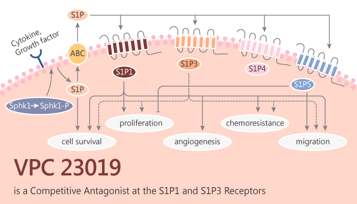 VPC 23019 is a Competitive Antagonist of S1P1 and S1P3 Receptors and an Agonist of S1P4 and S1P5 Receptors 2019 10 12 - VPC 23019 is a Competitive Antagonist of S1P1 and S1P3 Receptors and an Agonist of S1P4 and S1P5 Receptors.