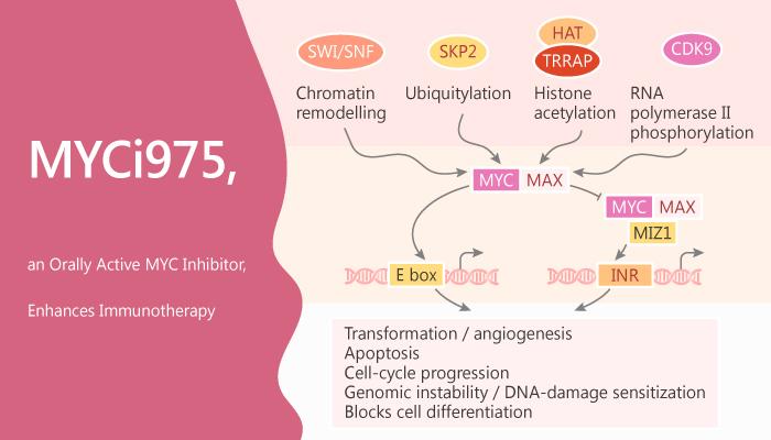 MYCi975 an Orally Active MYC Inhibitor Enhances Immunotherapy 2019 11 22 1 - MYCi975, an Orally Active MYC Inhibitor, Enhances Immunotherapy