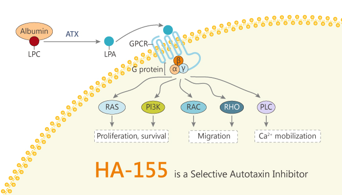 HA 155 is a Selective Autotaxin Inhibitor 2019 12 31 - HA-155 is a Selective Autotaxin Inhibitor