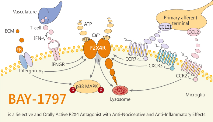 BAY 1797 is a Selective and Orally Active P2X4 Antagonist with Anti Nociceptive and Anti Inflammatory Effects 2020 01 12 - BAY-1797 is a Selective and Orally Active P2X4 Antagonist with Anti-Nociceptive and Anti-Inflammatory Effects