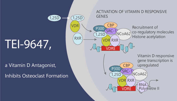 TEI 9647 a Vitamin D antagonist Inhibits Osteoclast Formation 2020 03 05 - TEI-9647, a Vitamin D antagonist, Inhibits Osteoclast Formation