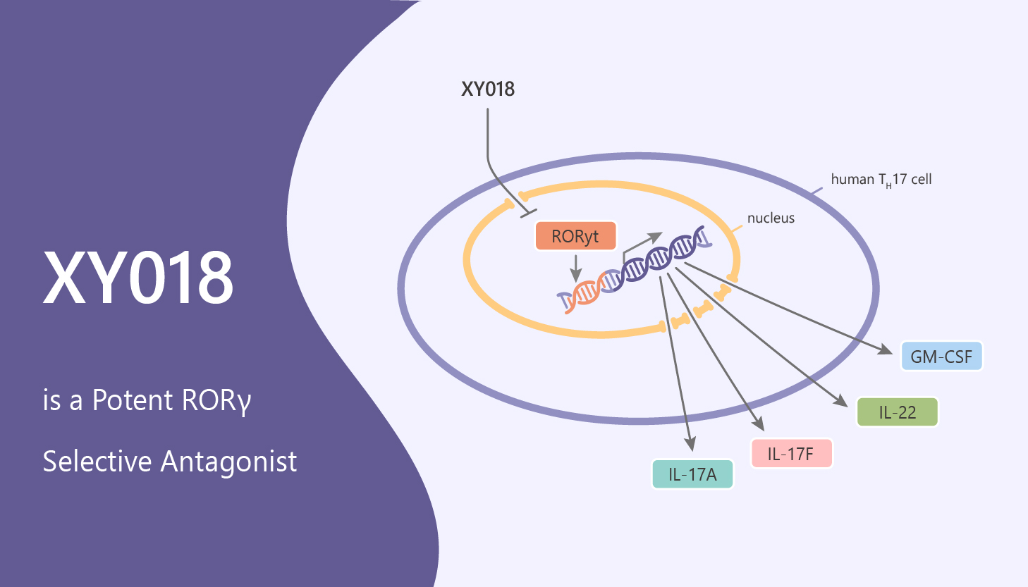 XY018 is a Potent RORγ Selective Antagonist 2020 05 30 - XY018 is a Potent RORγ Selective Antagonist