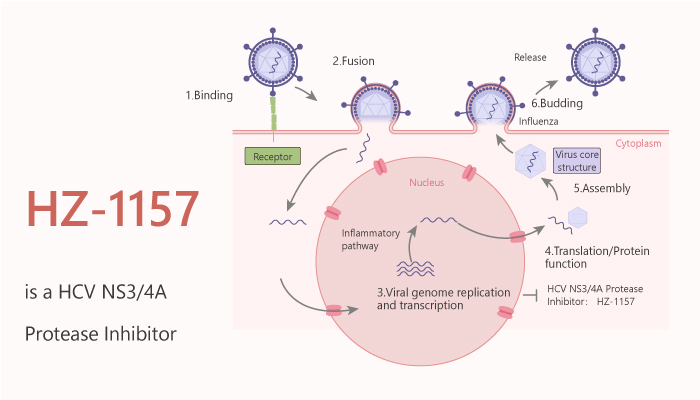 HZ 1157 is a HCV NS34A Protease Inhibitor 2020 07 01 - HZ-1157 is a HCV NS3/4A Protease Inhibitor