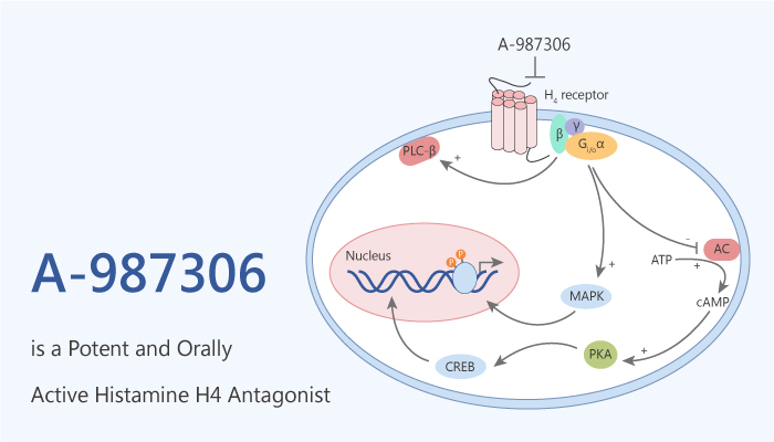 A 987306 is a Potent and Orally Active Histamine H4 Antagonist 2020 09 08 - A-987306 is a Potent and Orally Active Histamine H4 Antagonist