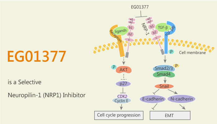 EG01377 is a Selective Neuropilin 1 NRP1 Inhibitor 2020 09 22 - EG01377 is a Selective Neuropilin-1 (NRP1) Inhibitor