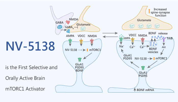 NV 5138 is the First Selective and Orally Active Brain mTORC1 Activator 2020 09 29 - NV-5138 is the First Selective and Orally Active Brain mTORC1 Activator