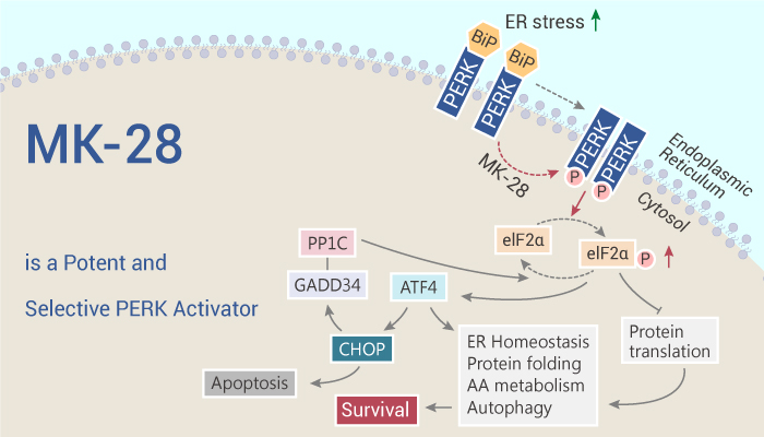 MK 28 is a Potent and Selective PERK Activator 2020 10 15 - MK-28 is a Potent and Selective PERK Activator