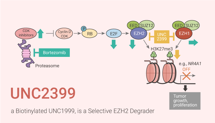UNC2399 a Biotinylated UNC1999 is a Selective EZH2 Degrader 2020 10 27 - UNC2399, a Biotinylated UNC1999, is a Selective EZH2 Degrader